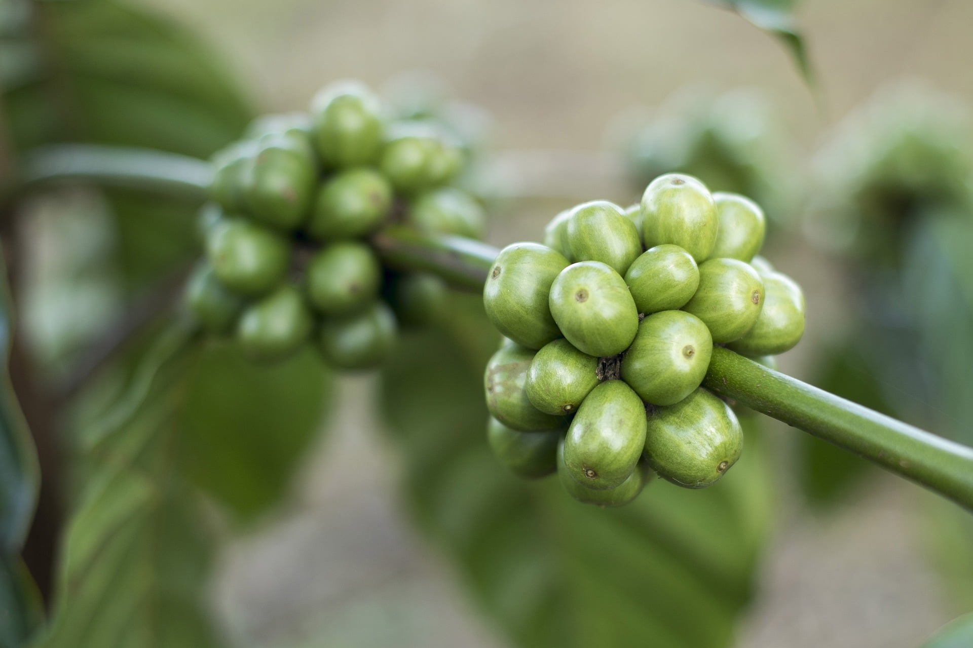 grüner Kaffe extrakt kapseln Wirkung